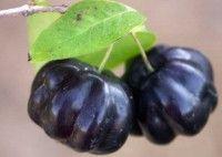 Surinam Cherry Grafted Black Star Variety Tree