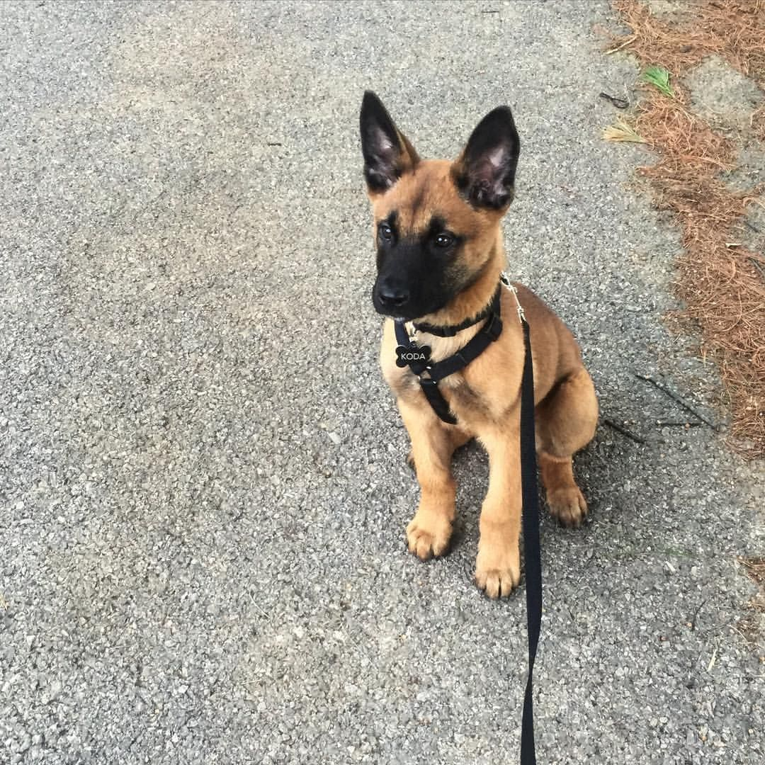 Koda The Malinois On Instagram Another Tbt His Mask And Coat Color Have Completely Changed Since Thi Malinois Dog Malinois Puppies Belgian Malinois Dog