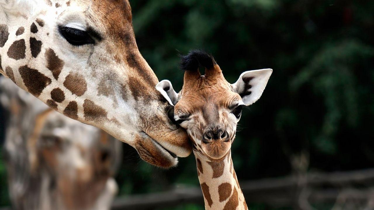 giraffe love   Tumblr