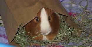 Pin On For Guinea Pigs