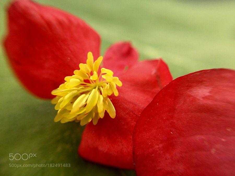 #photography Red begonia by Ewunchik https://t.co/icnhSu5YuM #followme #photography