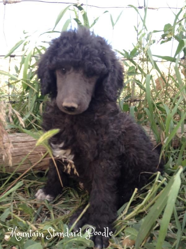 Lucky At 7 Weeks Old He Is A Blue Standard Poodle Puppy Poodle