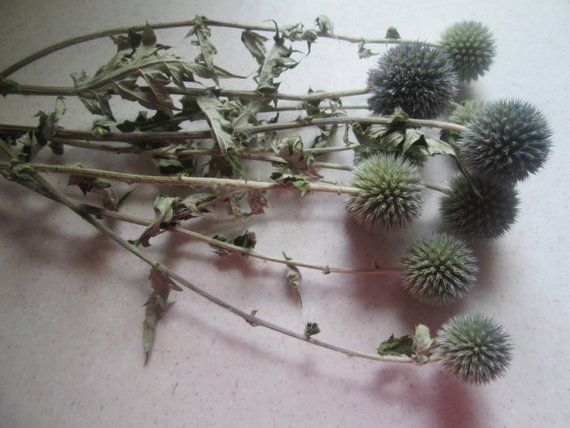 Blue Globe Thistle Dried Bunch Of 10 Flowers Craft Supplies Diy