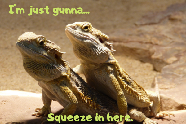 12 Of The Best Reptiles To Keep As Pets Bearded Dragon Baby Bearded Dragon Bearded Dragon Habitat