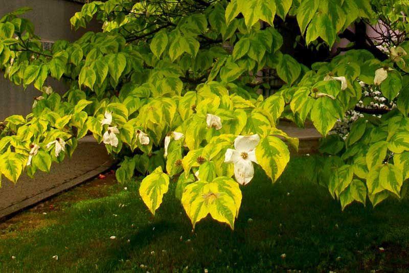 Cornus florida 39 rainbow 39 deciduous delights pinterest - Cornus florida rainbow ...