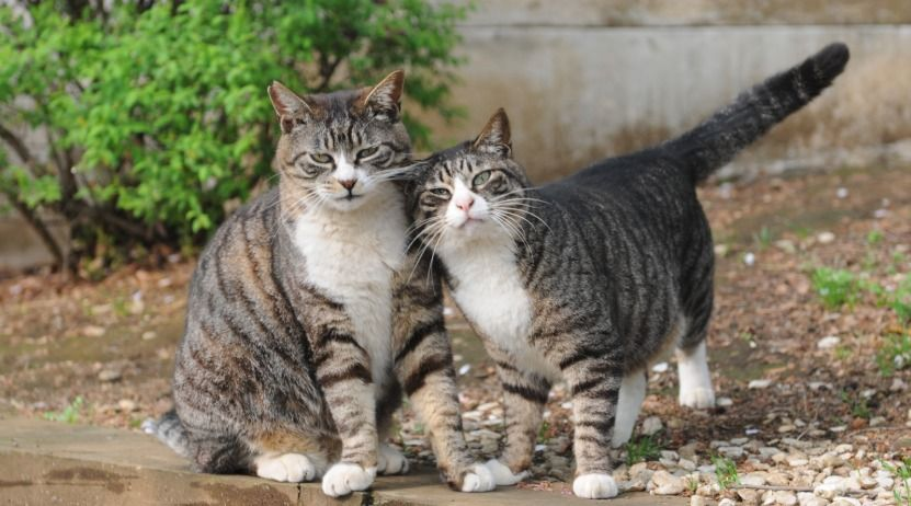 What Characteristics Define A Mackerel Tabby Cat Tabby Cat Different Breeds Of Cats Cat Breeds