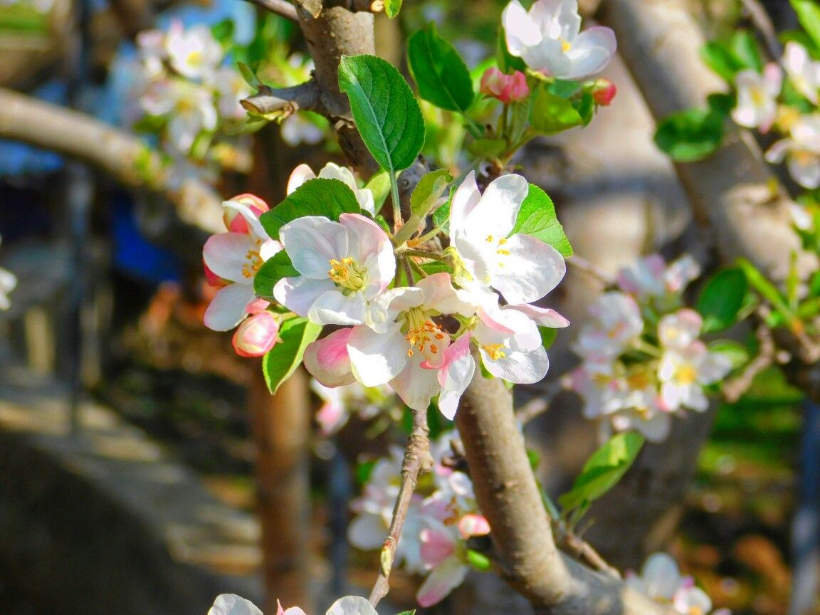Apple flower in the month of april kashmir india kashmir apple flower in the month of april kashmir india izmirmasajfo