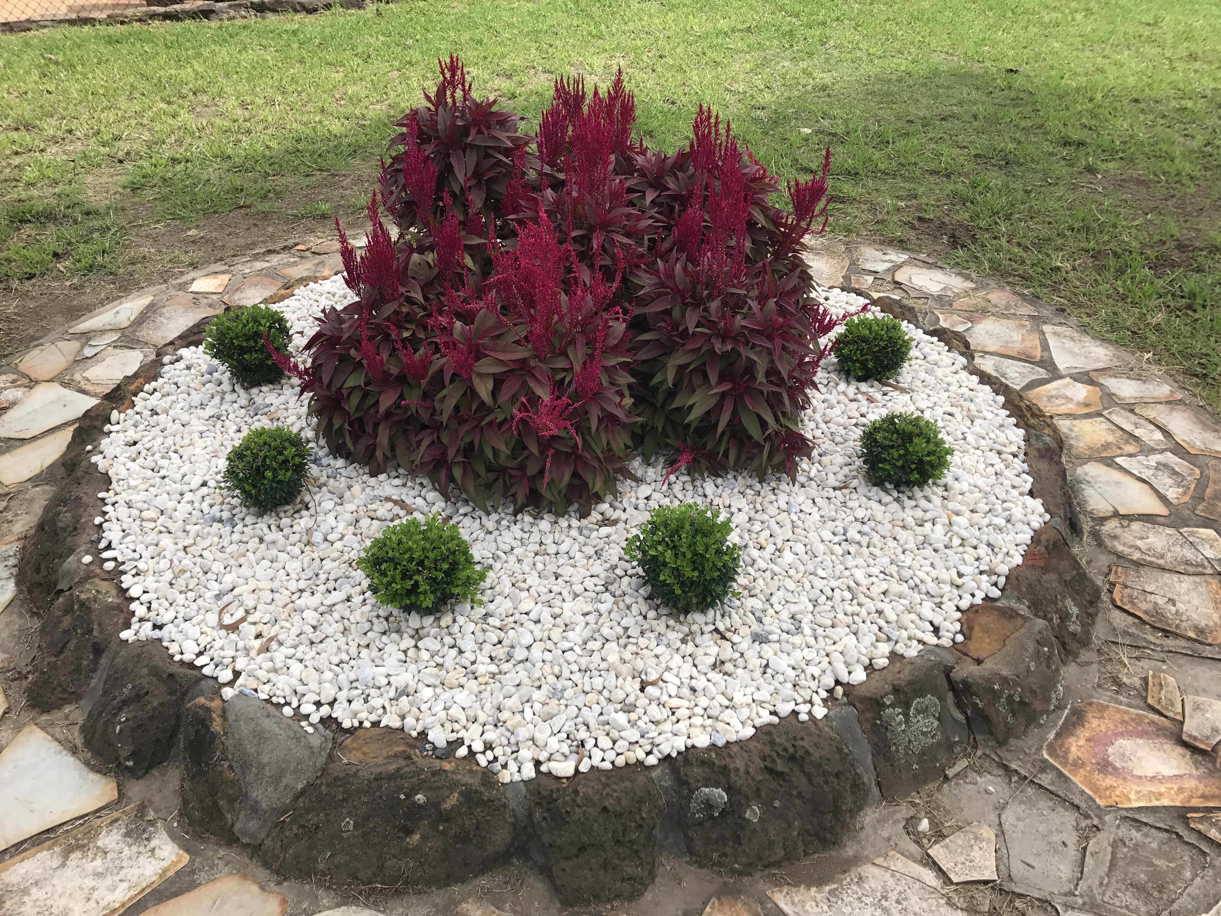 celosia dragons breath with buxus micro garden design