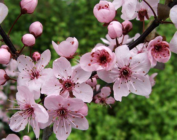 Plum Blossoms Plum Blossom Plum Flowers Flowers