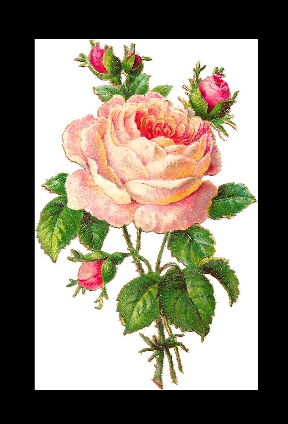 Antique Images Flower Scrapbooking Pink Rose With Buds Vintage