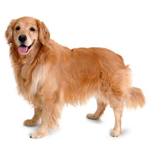 Mini Me Golden Retriever Dogs Golden Retriever Dogs Pets