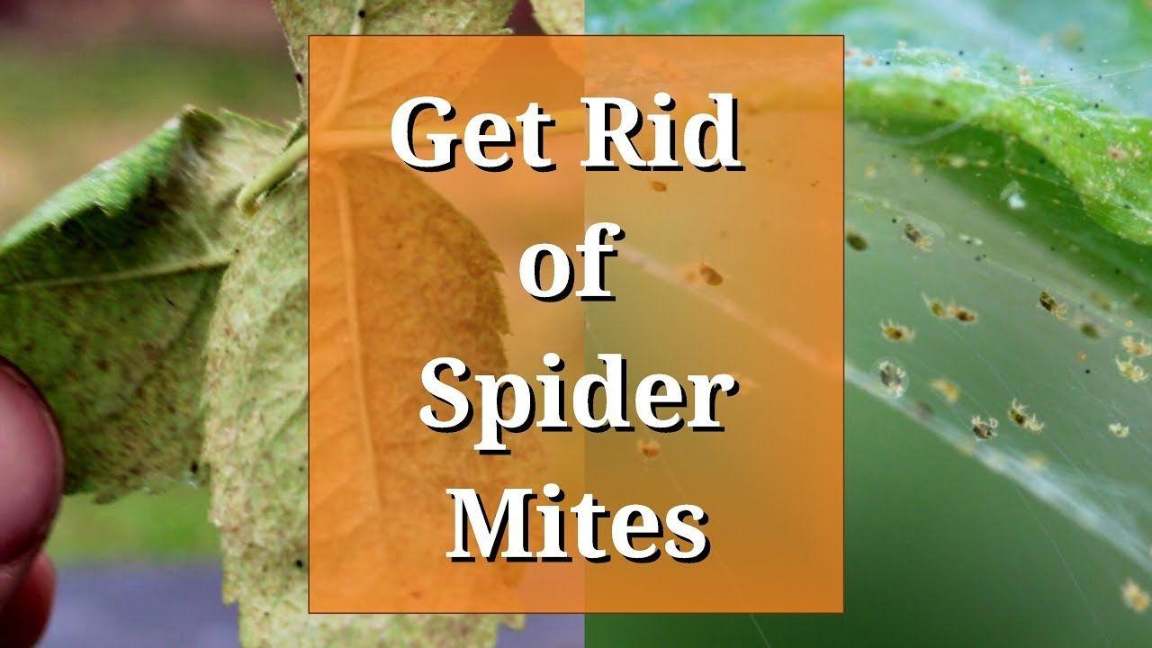 Get rid of spider mites youtube in 2020 spider mites