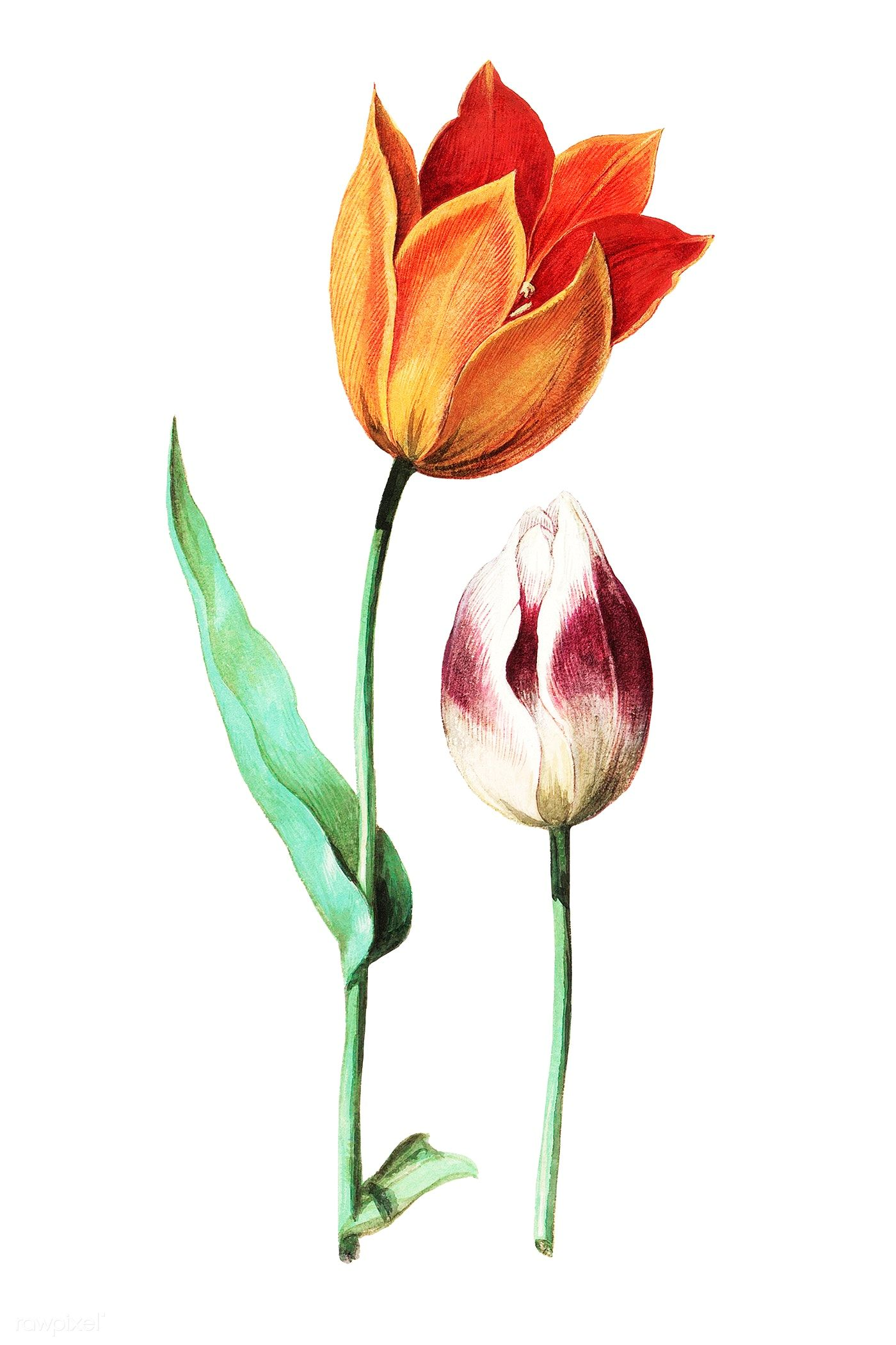 Vintage Tulip Flower Illustration Free Image By Rawpixel Com Flower Illustration Tulips Flowers Hollyhocks Flowers