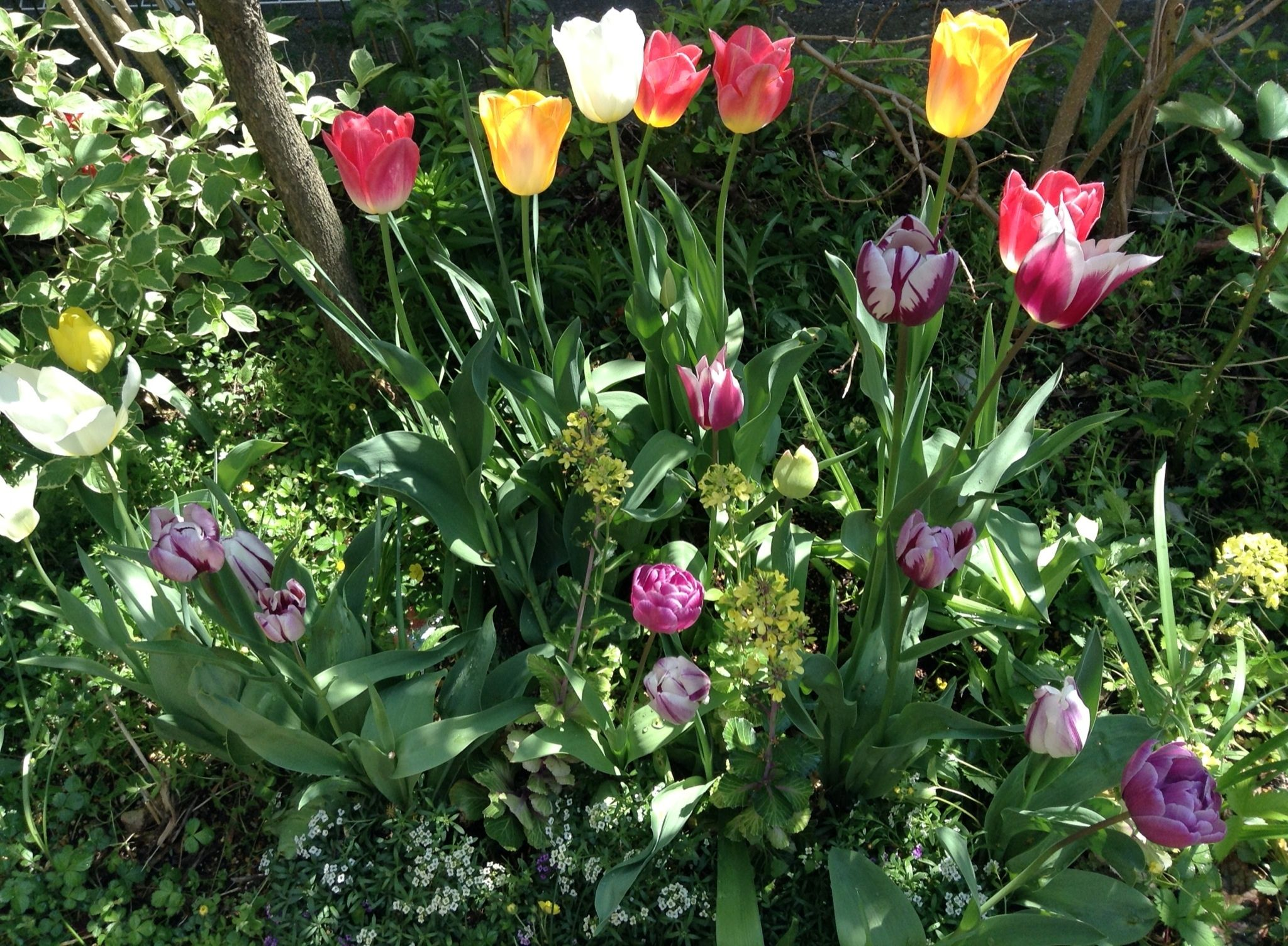 towering tulips among the grasses