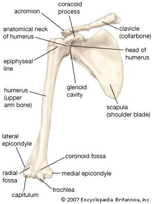 anterior view of the bones of the right shoulder, showing the clavicle  (collarbone), scapula (shoulder blade), and humerus (upper arm bone)