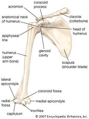Human Skeletal System A P Pinterest Upper Arm Bone Arm