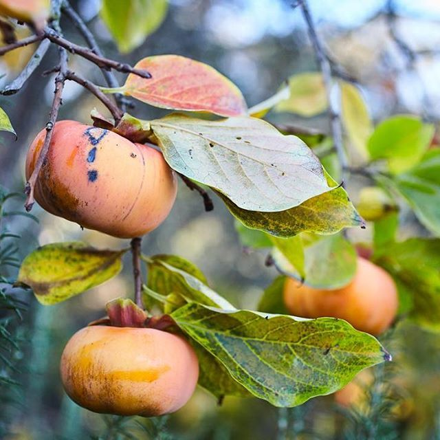 Edible Landscape Design: Fuyu Persimmons. Homestead Design Collective.