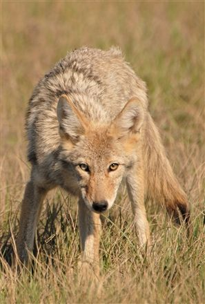 Coyote And Prairie Dog Can Be A Bane To Agriculture