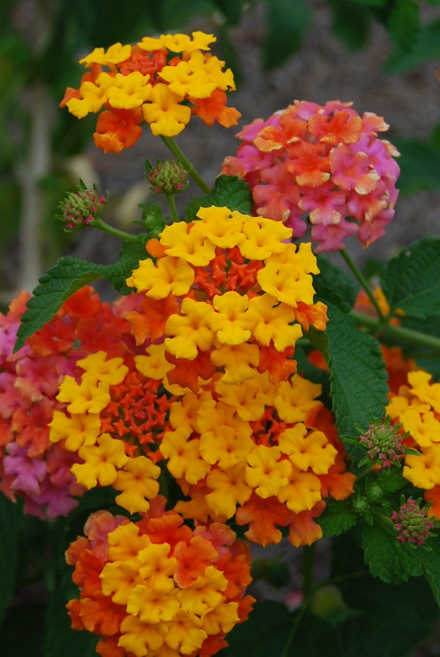 Miss Huff Lantana Flower Wonderful Flowers Lantana Flower Flowers Photography