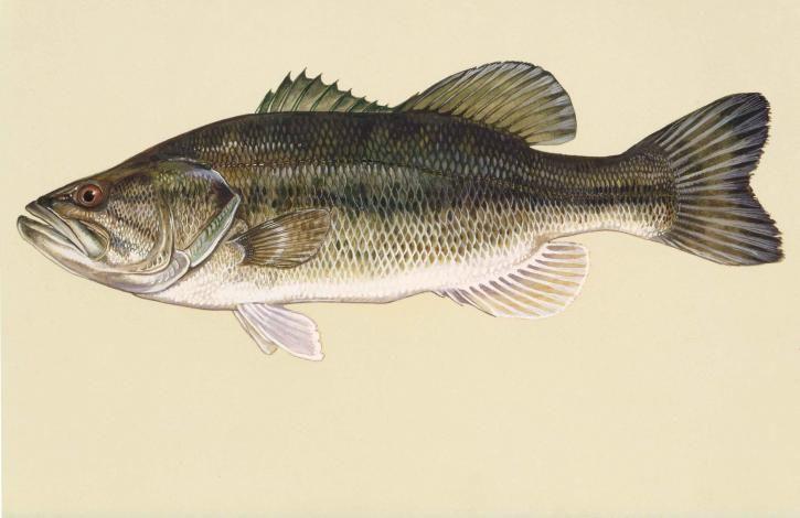 Largemouth bass fish (micropterus salmoides) public domain art work ...