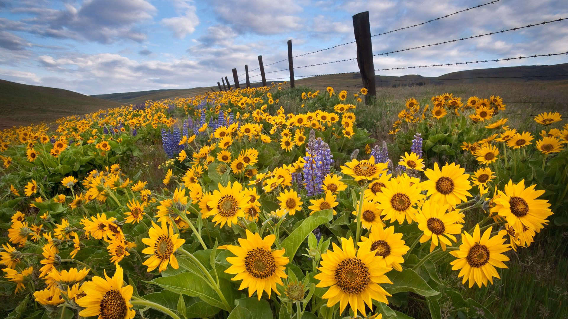 Desktop Sunflowers Flowers Field Fence Hd Desktop Wallpapers Sunflower Fields Beautiful Flowers Pictures Garden Pictures