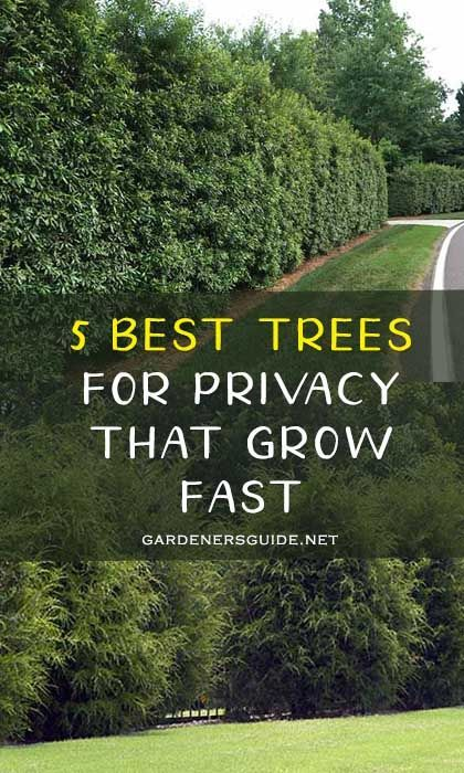 5 Best Trees For Privacy That Grow Fast - Gardeners' Guide