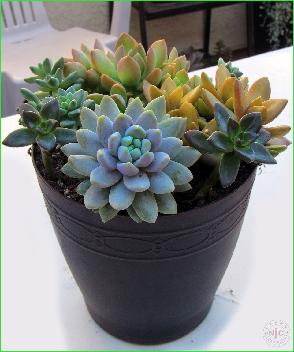 Mixed Container Planting With 4 Types Of Sedeveria And 2 Types Of