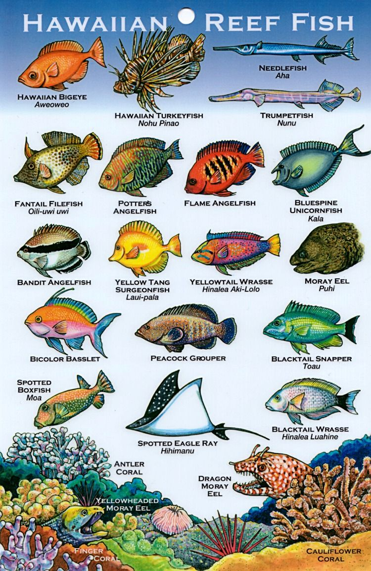 Freshwater fish of hawaii - Fish Hawaiian Reef Fish