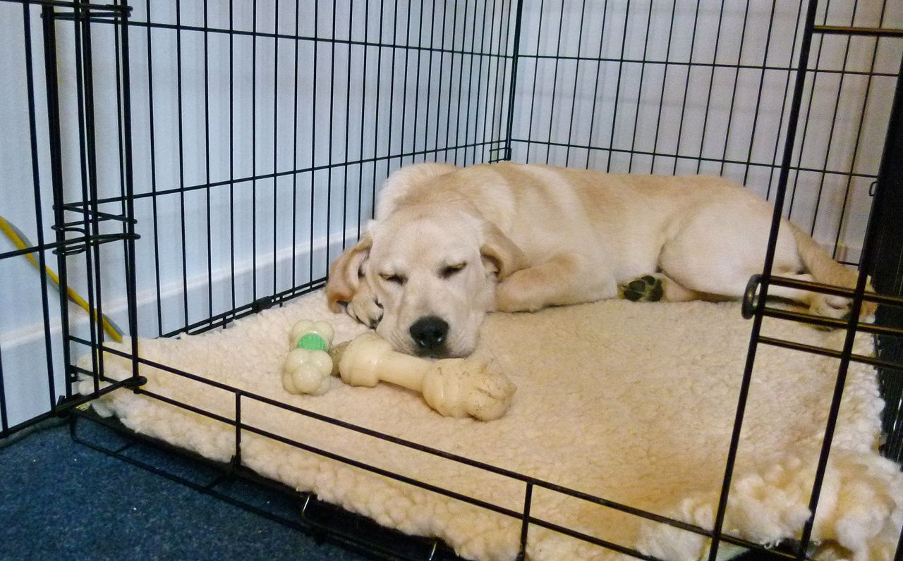 6 Hidden Tips For Crate Training A Lab Puppy In 2020 Crate Training Dog Labrador Retriever Labrador Retriever Training