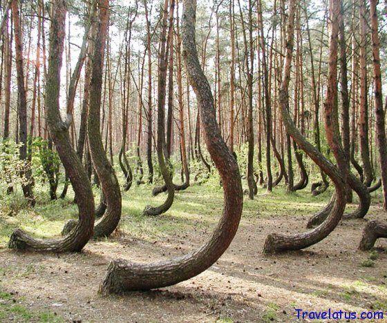 Crooked Forest, Nowe Czarnowo, West Pomerania, Poland