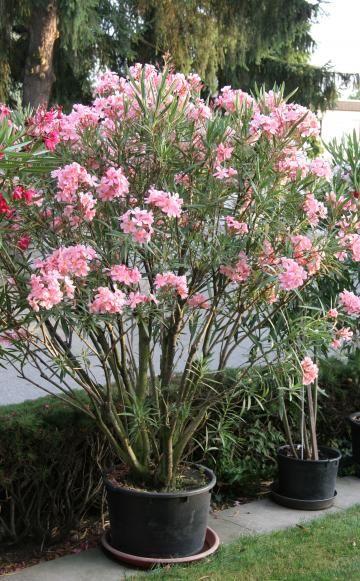 oleander erfolgreich berwintern k belpflanzen berwintern und pflanze. Black Bedroom Furniture Sets. Home Design Ideas