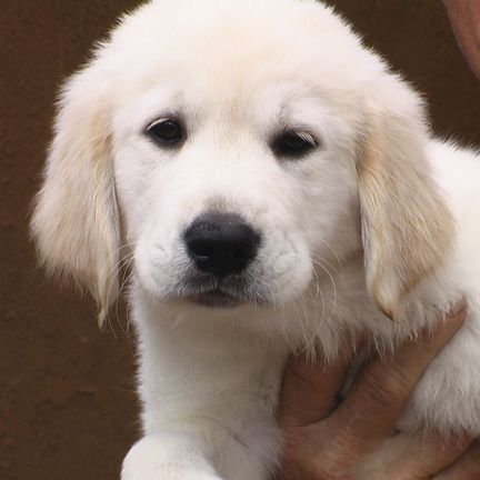 White Light Golden Retriever Puppy They Sure Are Cute And Fluffy