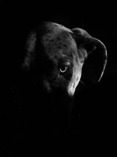 great dane eye   pets in frames photography  #facebookpage