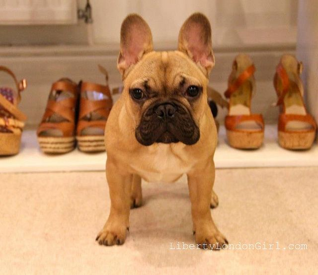 Dog Of The Day Dougal The Fawn French Bulldog Puppy In