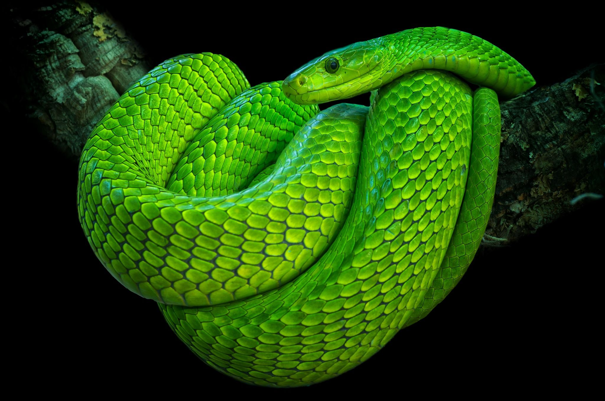 green mamba - Google Search | Photos | Pinterest
