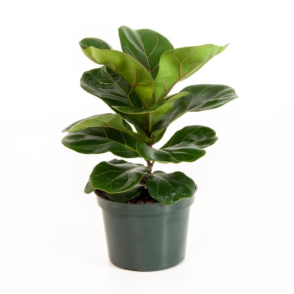 United Nursery Ficus Lyrata Fiddle Leaf Fig In 6 In Grower Pot 26646 The Home Depot Ficus Ficus Lyrata Fiddle Leaf
