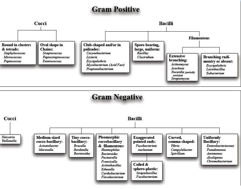 Classification Of Bacteria On Basis Of Gram Stain Pharmacy School