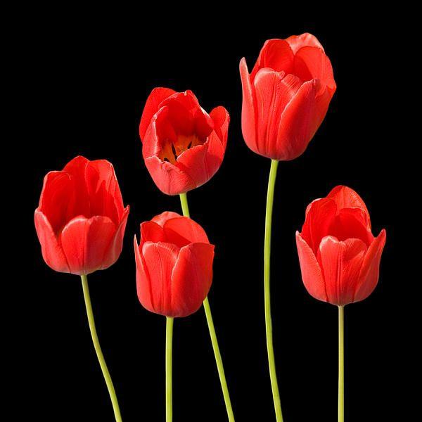 Tulip Wallpaper: Red Tulips Black Background WallArt By Natalie Kinnear Www
