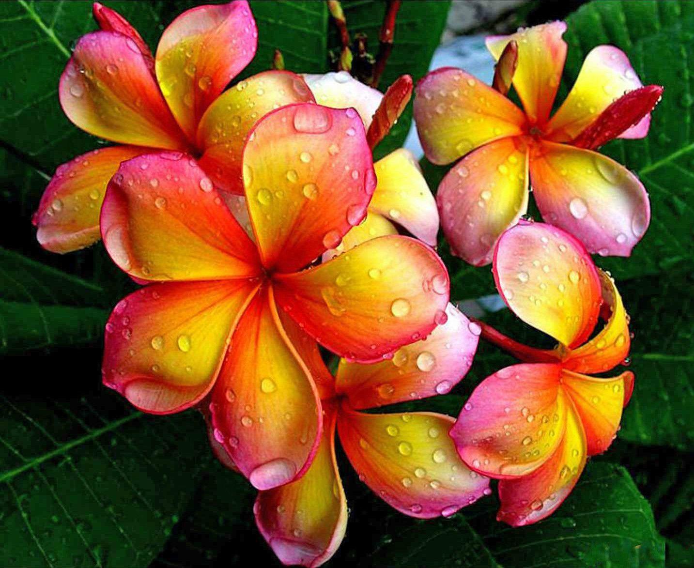 Hawaiian Plumeria Flowers Cross Stitch Chart Products