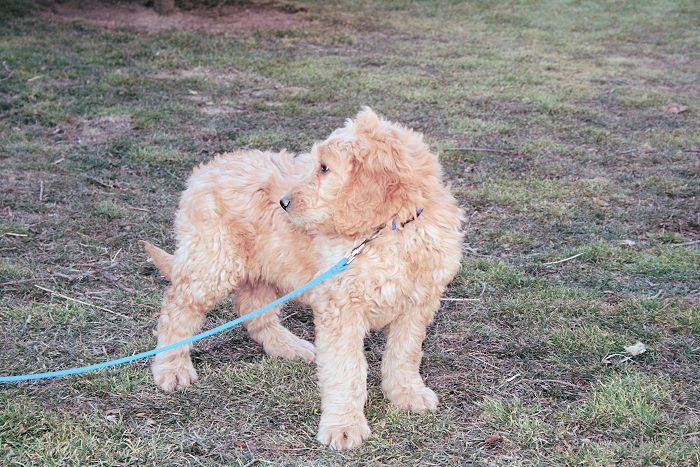 goldendoodle dogs cute Goldendoodle puppy