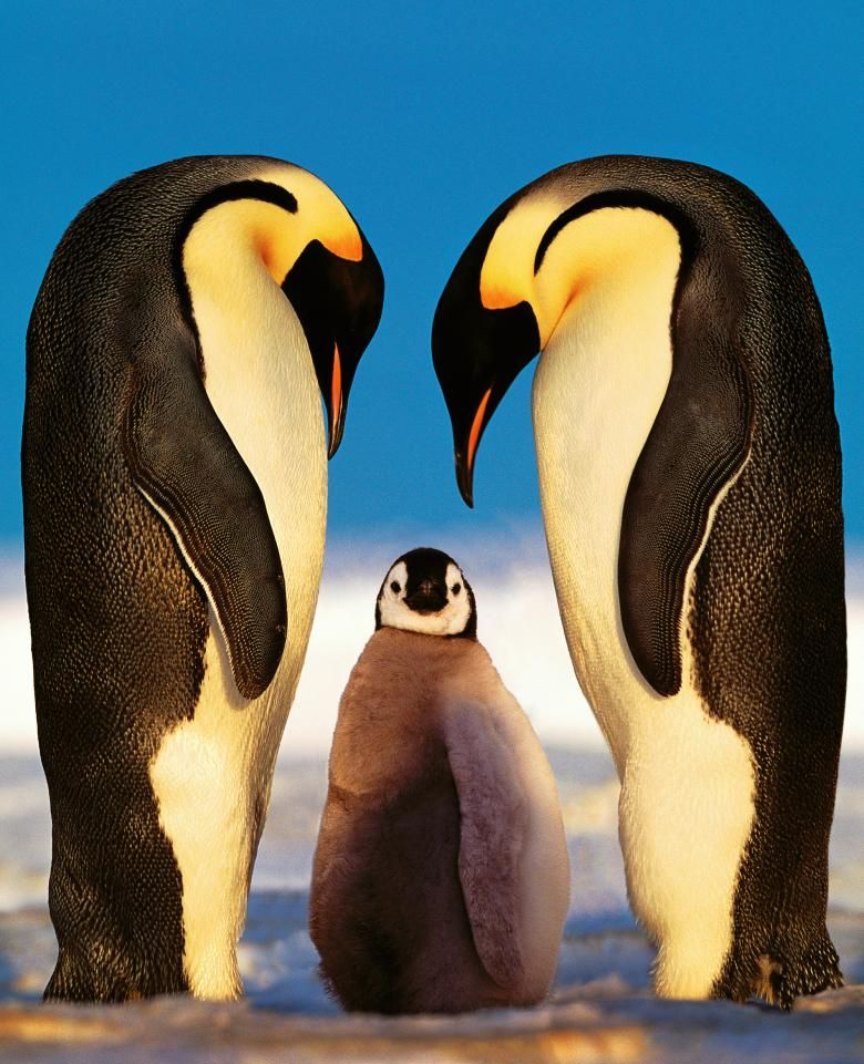 Kumpulan Cute Penguins Cute Mighty Pictures Baby Pinguine Ausgestopftes Tier Pinguine