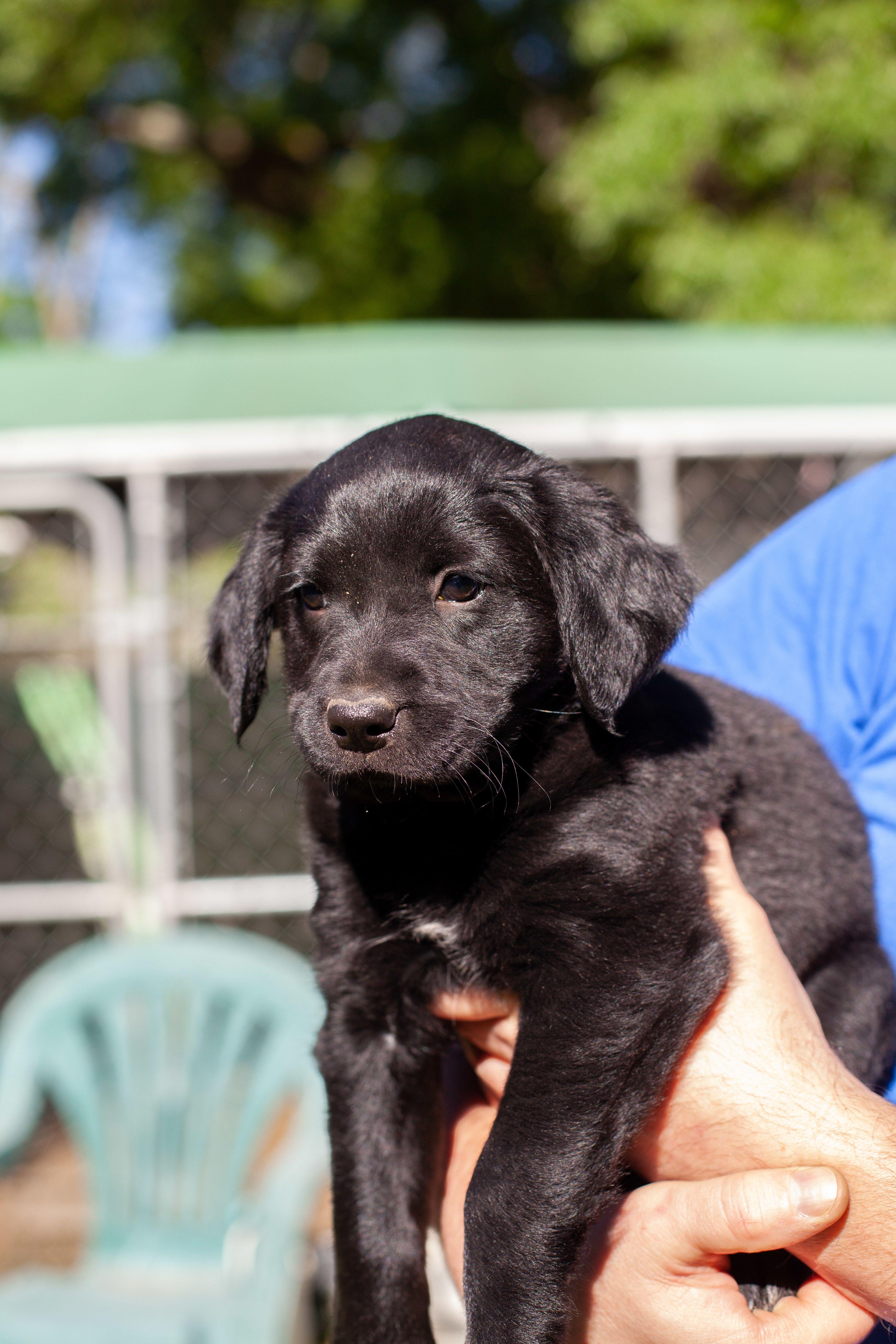Adopt Darby On Labrador Retriever Black Labrador Retriever Retriever Puppy