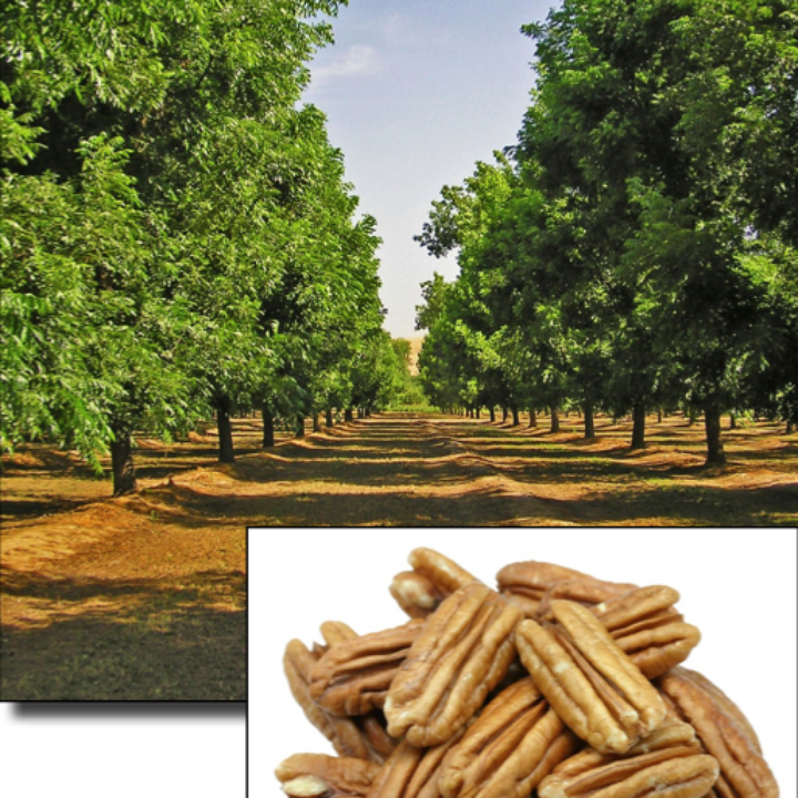 Pecan Trees From Tropica Mango Rare Exotic And Tropical Fruit Tree Nursery For 98 00