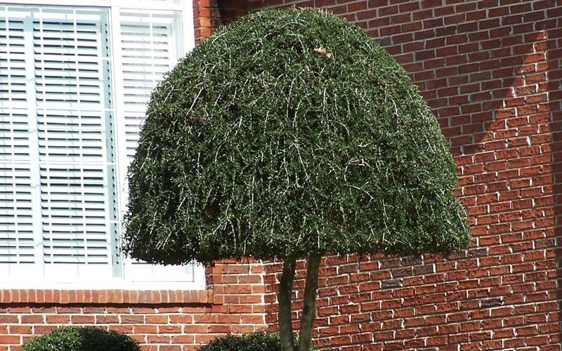 Weeping Yaupon Holly Properly Trimmed I Have One In My