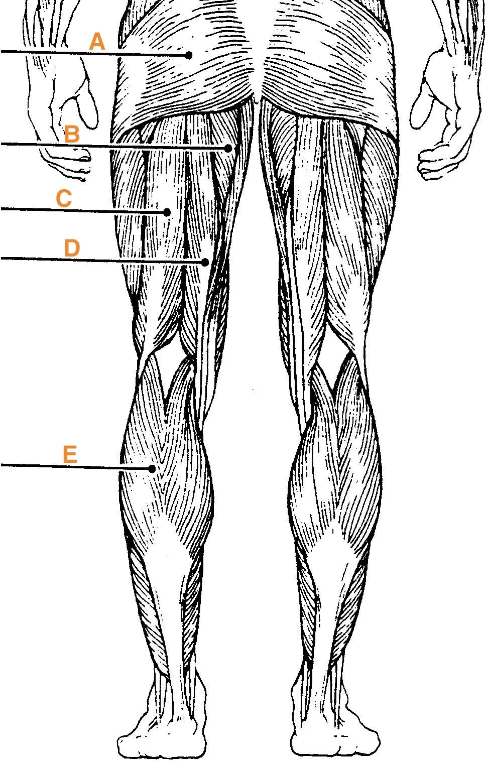Muscles Of The Body Quiz Anatomy E Flashcards Muscle