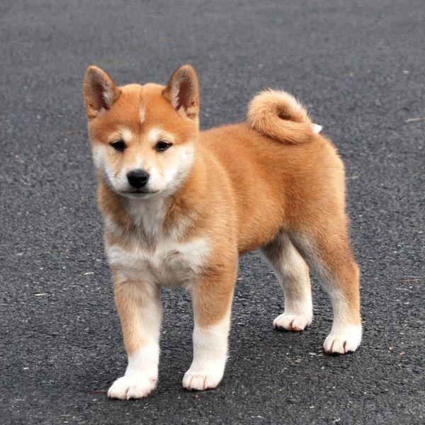 Top 10 Cutest Puppies Ehow Com Shiba Inu Puppy Puppies Cute Puppies