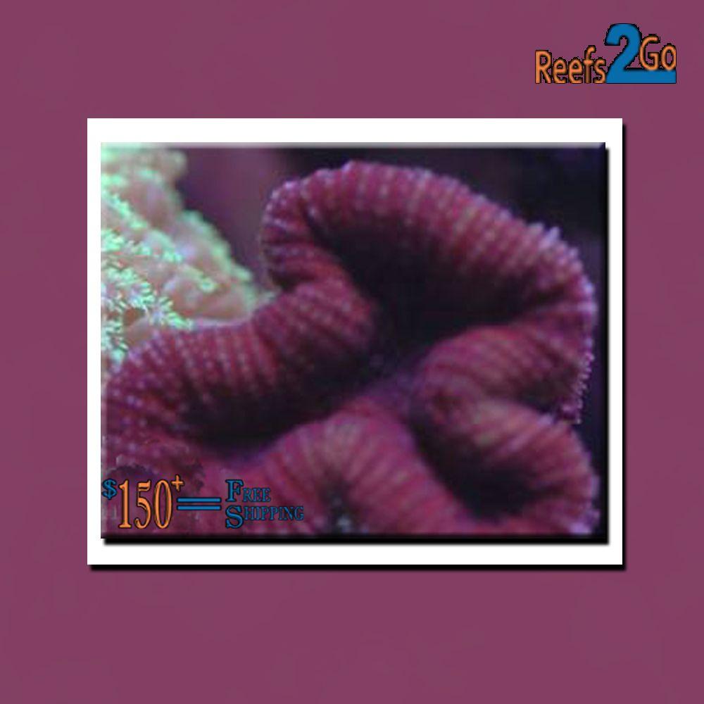 Lobophyllia Coral- Red (Lobophyllia sp.)