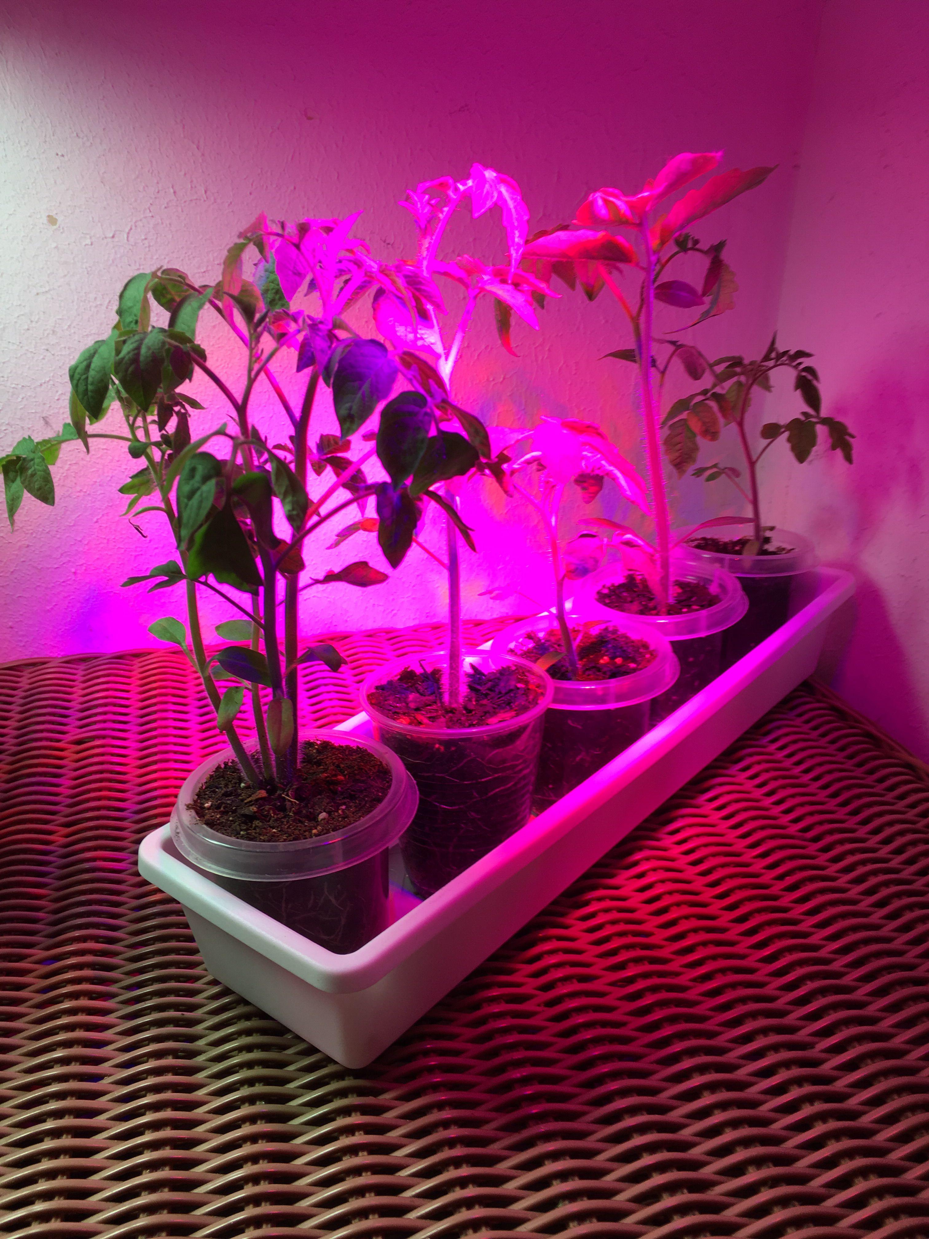 Tomatoes Under Led Grow Light