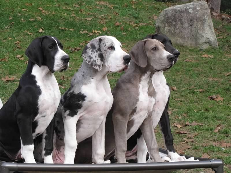 The Sdp Great Danes Explore Org Big Dogs Dogs Service Dogs