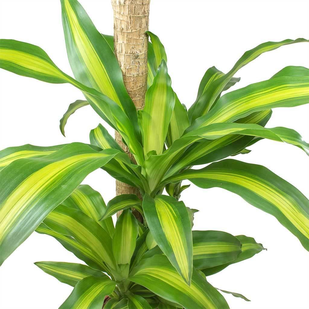 Dracaena fragrans massangeana multi stem plants